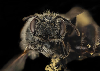 Andrena distans, F, Face, VA, Gales County_2014-01-23-16.29