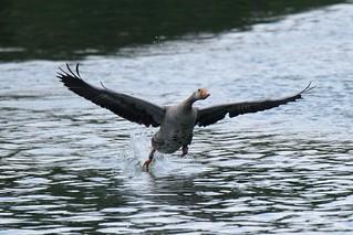 Startende Graugans / Starting Greylag Goose