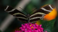 Zebra longwing feeding 1/3 (PChamaeleoMH) Tags: butterflies horniman insects london macro zebralongwing