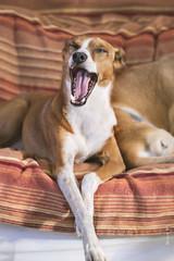 My dogs...Petro (Miren Rv) Tags: dogrescue dog podenco lovely funny canon pet