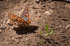 Variable Checkerspot (phoca2004) Tags: bodiehillsconservationpartnership bodiehills d90 euphydryaschalcedona nikon variablecheckerspot bridgeport california unitedstates us butterfly