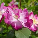 Au jardin, le temps des roses, Bosdarros, Béarn, Pyrénées Atlantiques, Aquitaine, France. thumbnail