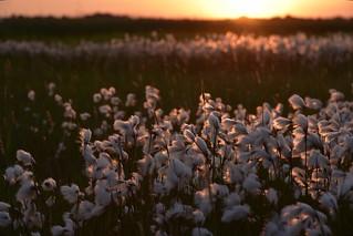 Im Südermoor - Wollgras-Wattebäusche bei Sonnenuntergang, Schmalblättriges Wollgras; Norderstapel, Stapelholm (58)