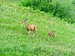 365-4-166 Mule Deer doe and fawn (benlarhome) Tags: 365 canada calgary alberta fishcreek fishcreekpark provincialpark
