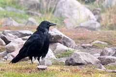 Rocking Raven - HBW! (RPahre) Tags: raven bokeh hbw grizzlyandwolfdiscoverycenter westyellowstone