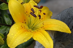Rainy Day Lily (Paul den Ouden) Tags: lilies lily yellow rain flowers floral flora powellriver