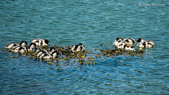 Shelducklings (JKmedia) Tags: ducklings shelduck menai wales anglesey water swim fluffy boultonphotography 2018 clutch sonyrx10iii