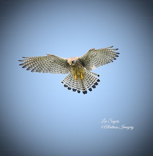 Gorgeous hovering Kestrel.