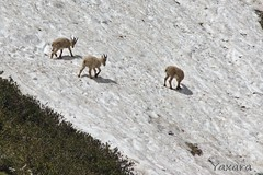Paturage alpin (Yaxara) Tags: animal rock snow mountain wildlife