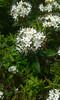 Rhododendron groenlandicum (tammoreichgelt) Tags: green mountain white flowers labrador tea vermont bog ericaceae