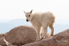 Posing Mountain Goat kid
