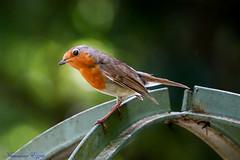 Rouge-gorge familier  Robin (Ezzo33) Tags: rougegorge familier robin france gironde nouvelleaquitaine bordeaux ezzo33 nammour ezzat sony rx10m3 parc jardin oiseau oiseaux bird birds specanimal