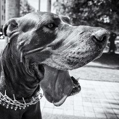 Maramduke (Burnt Umber) Tags: doge pero canine k8 maramduke chain great dane pup male rpilla001 boca raton florida