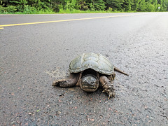 Female Common Snapping Turtle (U.S. Fish and Wildlife Service - Midwest Region) Tags: minnesota mn superior nationalforest june 2018 spring summer animal wildlife nature turtle snappingturtle reptile road mom mother