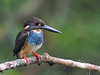 Blue-banded Kingfisher (ChongBT) Tags: nature natural wild life wildlife animal bird avian ornithology hobby watching birdwatching malaysia alcedoeuryzonapeninsulae alcedo euryzona peninsulae blue banded kingfisher adult male