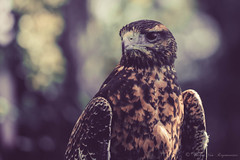 Aigle (vanregemoorter) Tags: oiseau aigle birds