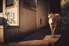 Elephant Cow (*trevor) Tags: asia cow elephant fujifilm india pushkar streets travelphotography xt2