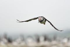 Puffin in flight (adbecks) Tags: puffin flight nikon d500 300 pf f4 lens review field nikkor wildlife birds uk england