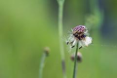 punaise (heiserge) Tags: france pagnylablanchecôte macro nature insectes meuse europe punaise lorraine macrophotographie animal animaux