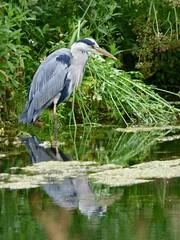 Heron (LouisaHocking) Tags: heron forest farm south wales cardiff bird british wild wildlife nature