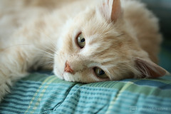 why so sad ? (photos4dreams) Tags: p4d photos4dreamz photos4dreams photos chilli photo pics misschillipepper mainecoon female cat ginger red rot fluffy katze canoneos5dmark3