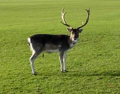 Dublin Phoenix Deer Park (tim_asato) Tags: dublin irland irlanda deer ciervo animal animals animales fauna bambi phoenix phoenixdublinpark park parque