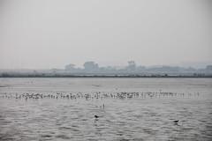 Charleston Slough (Erik Strahm) Tags: bird animal americanavocet mountainview california unitedstates us wetland