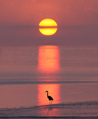 Thames Sentinel (adrians_art) Tags: birds waders egrets riverthames kent uk england red yellow gold orange black white purple mauve sky clouds sunrise dawn reflections water tide wildlife heron silhouettes shadows