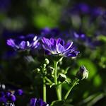 Purple Sunshine thumbnail