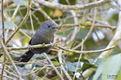 Rio de Janeiro Antbird (Cercomacra brasiliana)