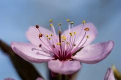 Wild Cherry - Pretty In Pink (wowafo) Tags: wild cherry pink wildkirsche frühling spring natur nature macr sony alpha 6000 bloom