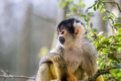 Looking right (Photography by Martijn Aalbers) Tags: squirrelmonkey doodshoofdaapje apenheul apeldoorn guelders gelderland animal dier zoo dierentuin beast beest mammal zoogdier canoneos77d ef70200mmf4lisusm wwwgevoeligeplatennl