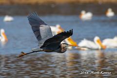 Great Blue Heron (Image_Czar) Tags: greatblueheron illinoisbirds cookcountyforestpreserve cookcountybirds greatoutdoors wildlife nature maplelake