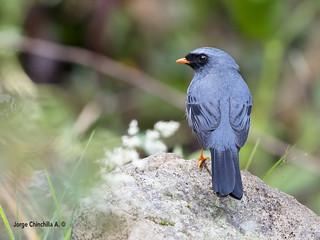 Black-faced Solitaire (Myadestes melanops)