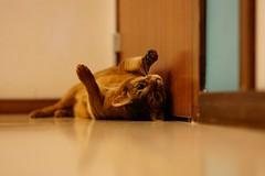 Fooling around (DizzieMizzieLizzie) Tags: rolling fooling around hallway floor abyssinian aby lizzie dizziemizzielizzie portrait cat feline gato gatto katt katze kot meow pisica sony neko gatos chat a6500 zeiss fe 55mm f18 za ilce6500 ilce sel55f18z sonnar 2018 bokeh pet animal wall