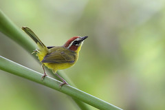 Rufous-capped Warbler (Greg Lavaty Photography) Tags: rufouscappedwarbler basileuterusrufifrons costarica february birdphotography warbler outdoors bird nature wildlife