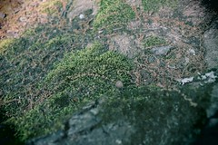 Moss on the roots of a tree (cmlx0208) Tags: greenery earth green tree moss roots