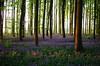 Bois de Hal_IGP6605_s (INABA Tomoaki) Tags: belgium belgië belgique belgien ベルギー hallerbos bois de hal ハルの森 bluebell ブルーベル outdoor plant flower landscape forest