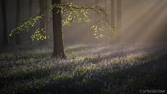 First Light (Sue MacCallum-Stewart) Tags: bluebells wephamwoods sussex woodland light spring