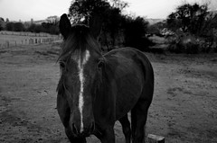 Horse (simonclaeye) Tags: nikon nikond nikond7000 ardennes belgium morningwalk morning lights nature trees tree horse blackandwhite bw