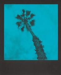(deep_blue_sea_1956) Tags: polaroidslr680 polaroidoriginalsblue tree oceanside southerncalifornia sandiegocounty polaroidweek2018 roidweek2018