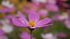 purple flower (ddli008) Tags: flower bokeh 花 散景 花圃 garden spring 花園 floral 꽃 blume closeup purple 紫