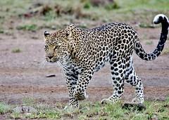 Female Leopard (Susan Roehl) Tags: kenya2015 masaimaranationalreserve kenya eastafrica leopard female hiddencub outhuntimg animal mammal pantherapardus upto140lb about28inattheshoulder liveupto21yearsincaptivity bushandriverineforest carnivorous gestation25months predatorsmainlyhumans sueroehl photographictours pentaxk3 sigma150500mmlens handheld takenfromjeep cropped ngc coth5 npc