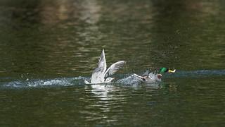 Seagull vs mallard (2/13)