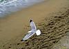 Lifting the flight (Domènec Ventosa) Tags: mar mediterráneo gaviota vuelo playa arena ave lifting flight sea mediterranean seagull beach sand bird