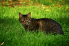 Mouse in the Grass (flashfix) Tags: may212018 2018inphotos ottawa ontario canada nikond7100 55mm300mm nikon flashfix flashfixphotography portrait cat feline whiskers ears kittynose mouse tabby naturallight soft sunlight grass outside
