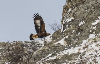 Golden Eagle - Awe Inspiring super bird