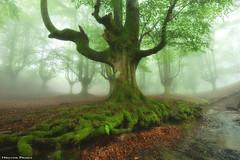 Deep roots (Hector Prada) Tags: forest fog spring roots moss tree leaves enchanted creepy mood magic bosque niebla primavera raices musgo árbol hojas hayedo encantado otzarreta atmósfera paísvasco basquecountry