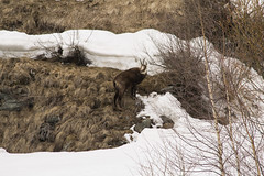 camoscio di paese (psychodogs) Tags: aosta camoscio natura nature wilderness animale italy montagna corna