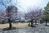 General view of The Sumida Hokusai Museum (すみだ北斎美術館) (christinayan01 (busy)) Tags: sanaa kazuyo sejima architecture museum building perspective tokyo japan blossom cherry sakura tree park sky people